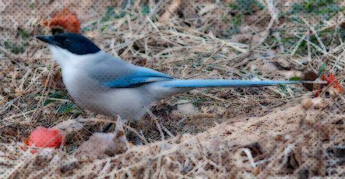 Azure-winged-Magpie_MF
