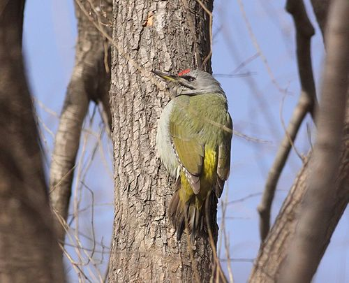 Grey-headed-Woodpecker_TE