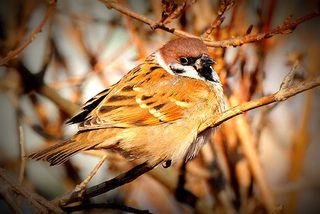 Tree-Sparrow_BH-2